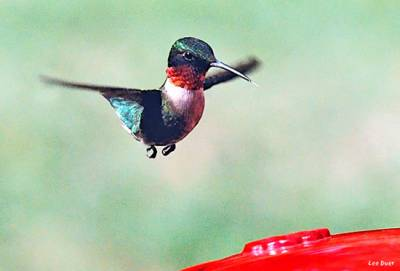 b2ap3_thumbnail_ruby-throated-hummingbird.jpg