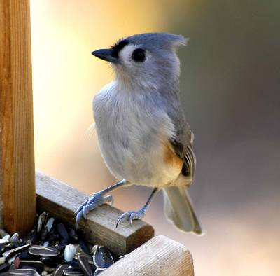 b2ap3_thumbnail_tufted-titmouse_20160324-202747_1.jpg