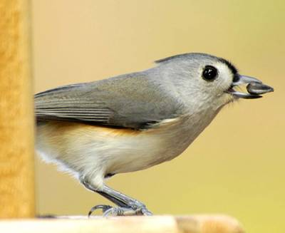 b2ap3_thumbnail_tufted-titmouse_20160626-144419_1.jpg