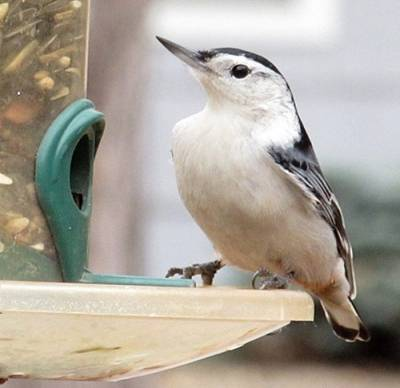 b2ap3_thumbnail_white-breasted-nuthatch-on-feeder.jpg