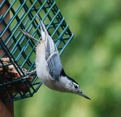 b2ap3_thumbnail_white-breasted-nuthatch.jpg