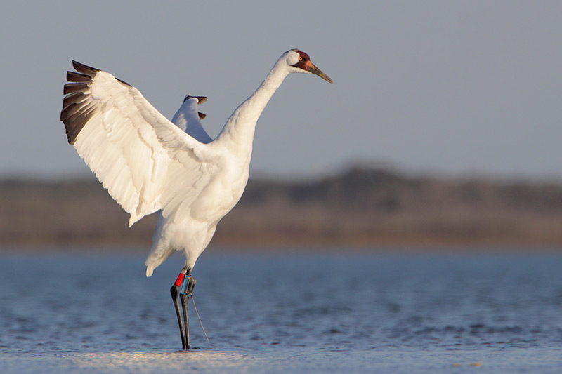 Image result for whooping cranes