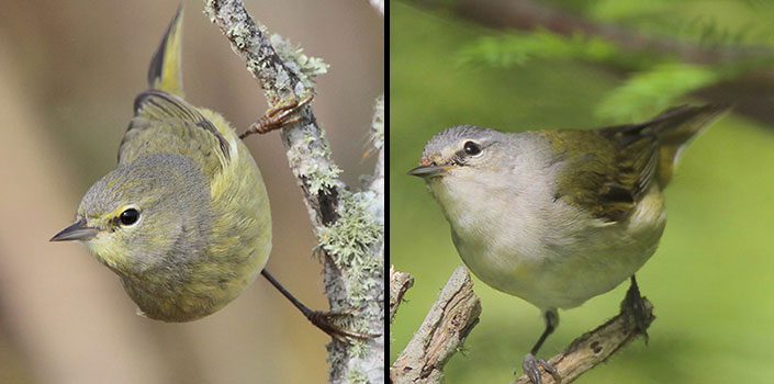 Comparison Of Orange Crowned And Tennessee Warbler