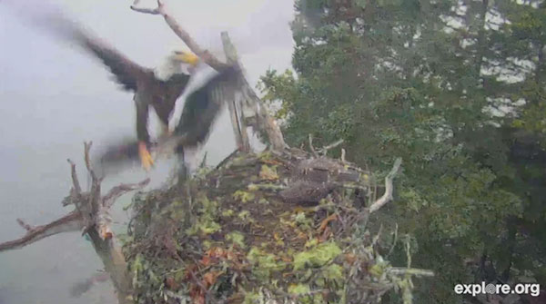 Bald Eagle attacking Osprey nest