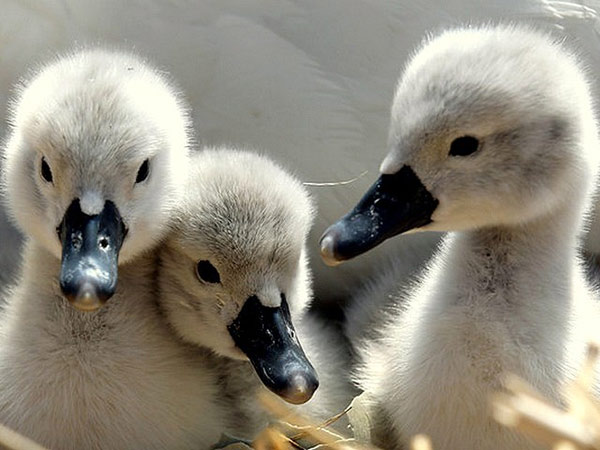 Cygnets - young swans