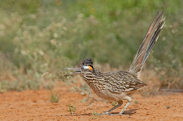 Greater Roadrunner with long tail in a cocked up position.