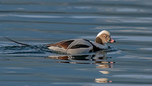 long-tailed duck, male in breeding plumage sitting on the water