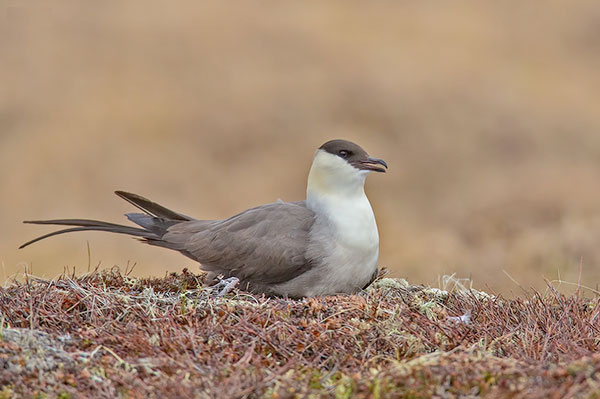 long-tailed jaeger in breeding plumage, sitting on the nest.
