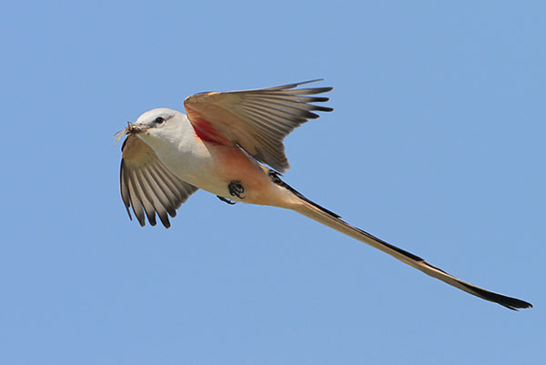 Male scissor-tailed flycatcher in flight showing the underside of the wings.