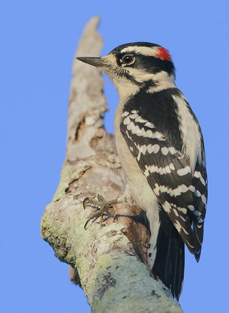 Male Downy Woodpecker.  Photograph © Greg Lavaty.