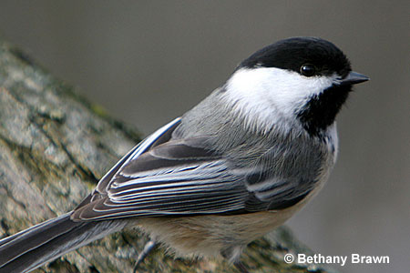 The Most Common Birds Of North America - Birds and Blooms