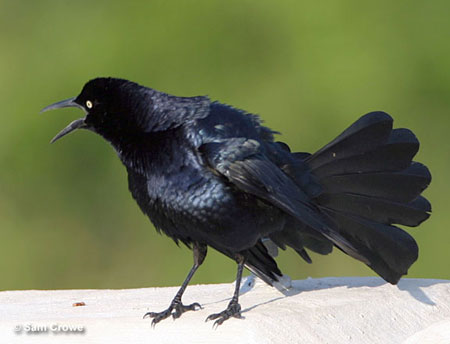 common grackle. Compare this Common Grackle to