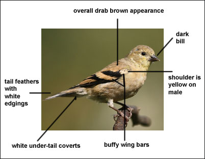 a brief description of the american goldfinch American goldfinch ruby  pa birding site guide   (but we welcome that too), just a brief overview of the birding there.