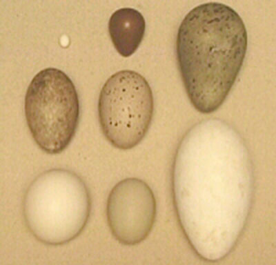 bird egg shapes
