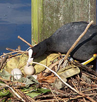 american coot nest