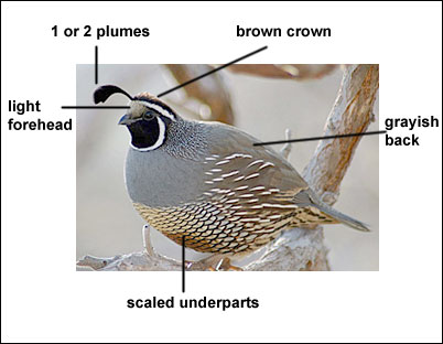 how to tell a quails age