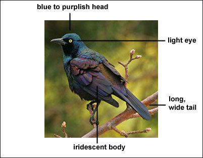 common grackle juvenile. The Common Grackle is a large