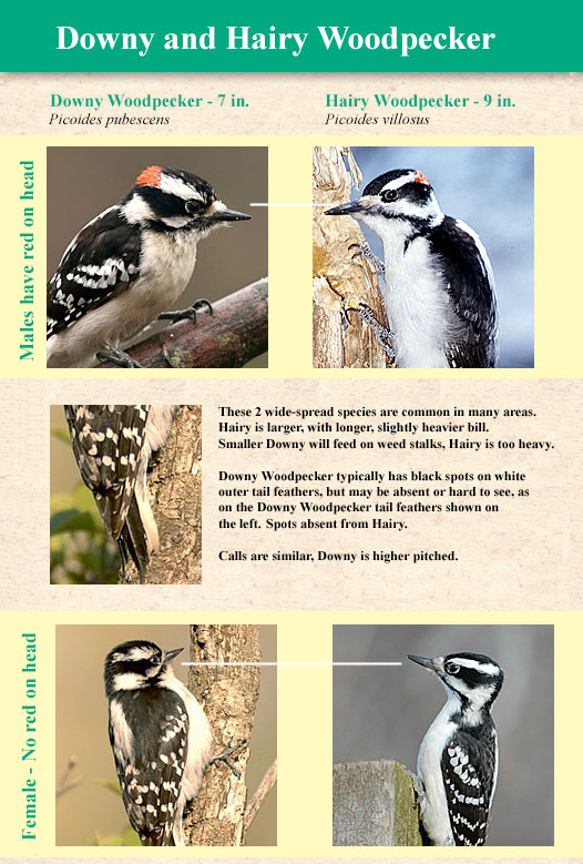 downy and hairy woodpeckers