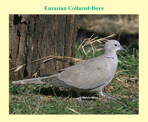Identification Of Mourning And European Collared Dove