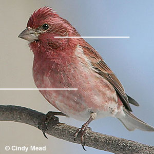 Identification of red finches