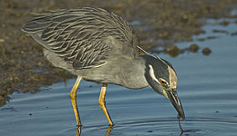 yellow-crowned night heron