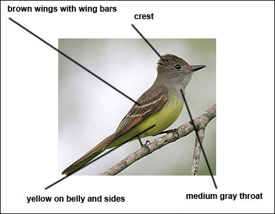 Description of the great crested flycatcher great crested flycatcher sciox Images