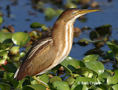 Description of the Least Bittern
