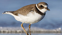 plover black singles Its black and white appearance and round-winged shape in flight make it distinctive, even without its splendid crest  lapwing landscapes.