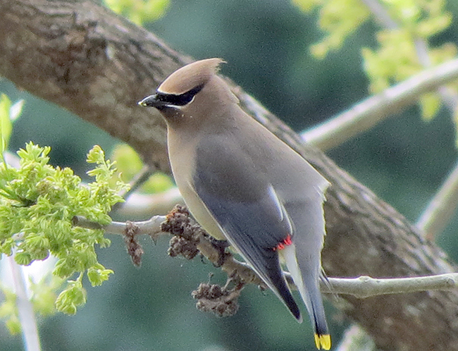 cedar waxwing looking left