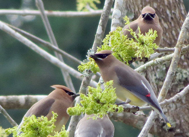 cedar waxwings feeding