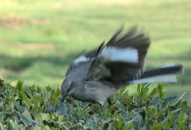 northern mockingbird flashing
