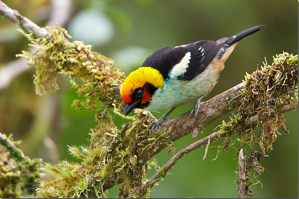 Flame-faced-tanager