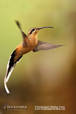 Planalto Hermit by Dubi Shapiro