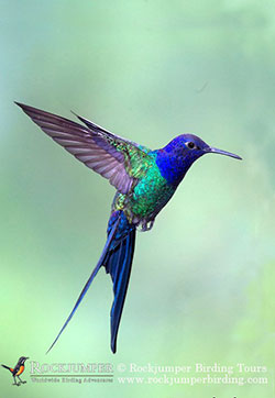 Swallow tailed Hummingbird by Dubi Shapiro 1 001 copy