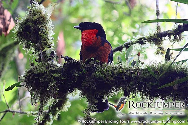 red ruffed fruitcrow by tim boucher