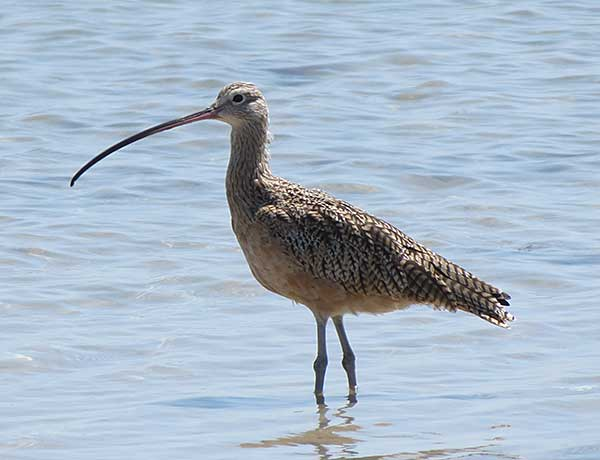 long-billed-curlew-sc