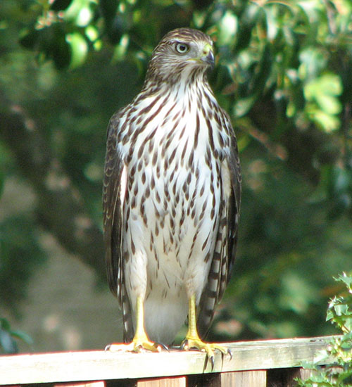 Coopers Hawk juvenile