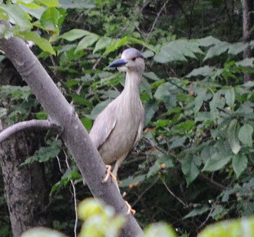 black-crowned-night-heron-pat