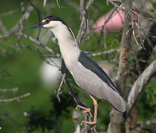 black-crowned-night-heron-sc