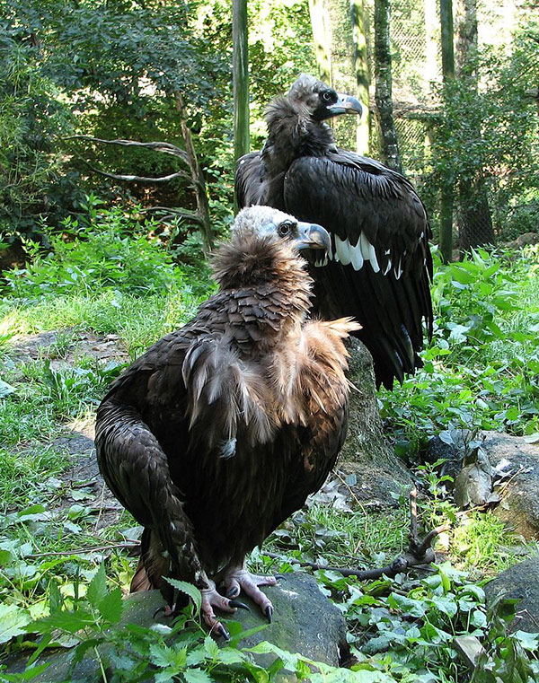 cinereous vultures