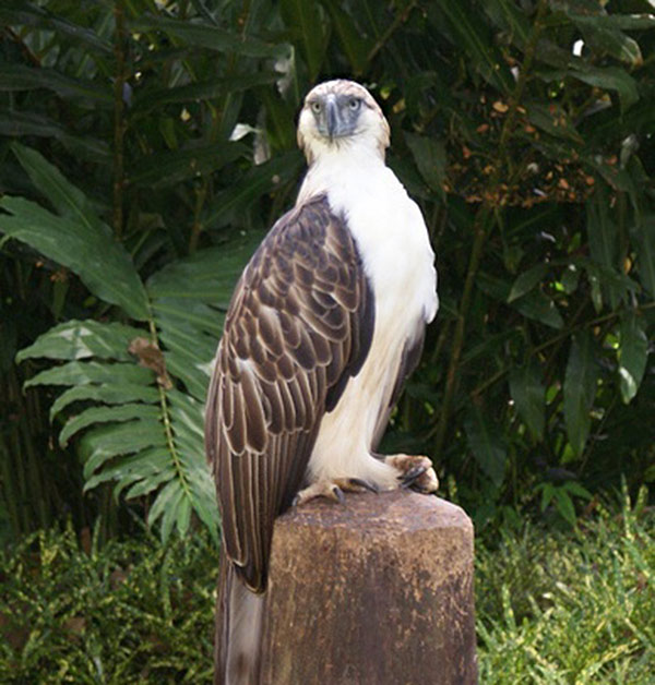 phillipine-eagle