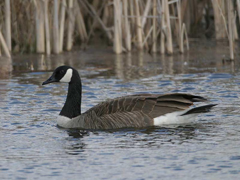 Bird Kite Canada Goose', Giant