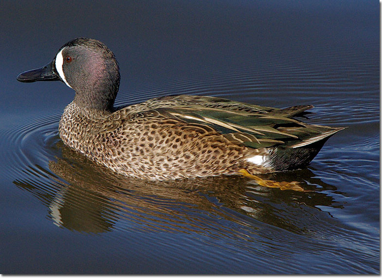 Identification of Blue-winged Teal - photo#41