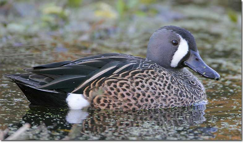 Identification of Blue-winged Teal - photo#14