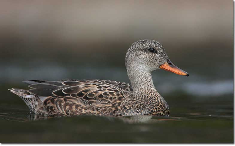 Female Gadwalls have a grayish-brown head that is lighter than the ...