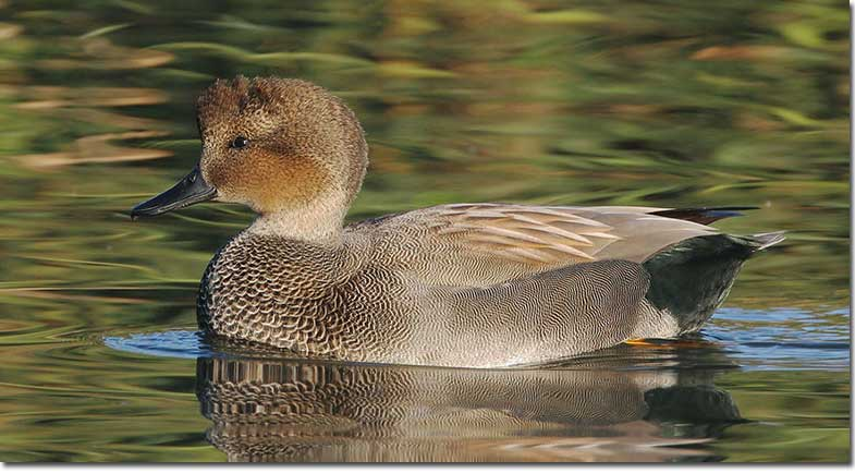 Identification of Gadwall