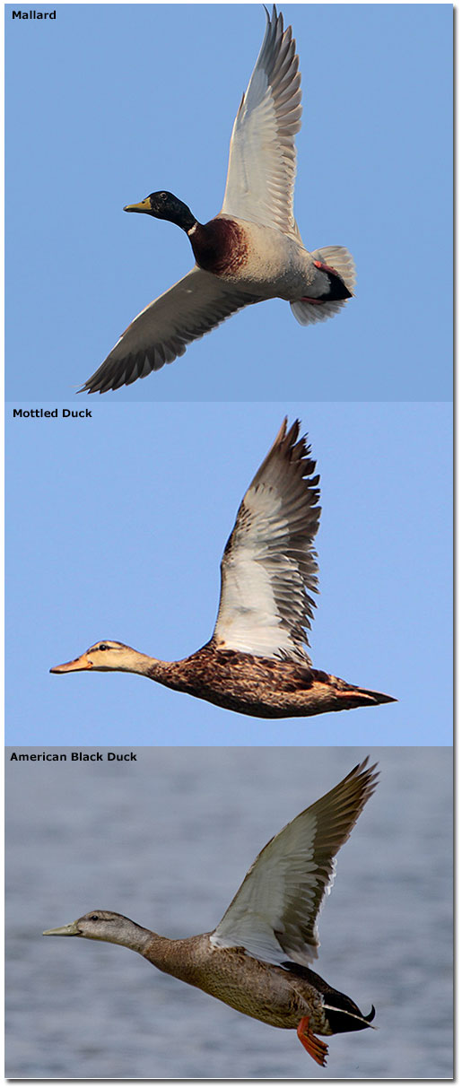 comparison of mallard, mottled and black ducks