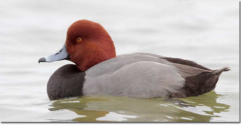 Black duck with red head-1255