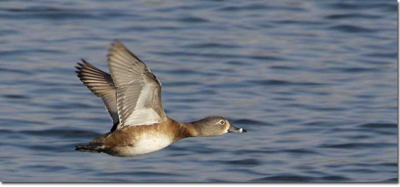 Ring Necked Duck Flying