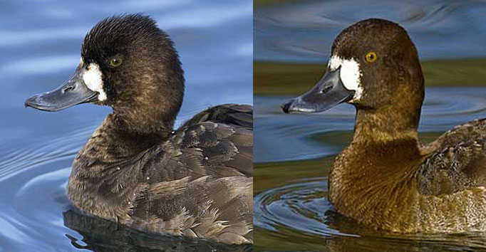Comparison of female scaup